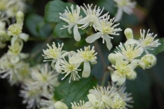 Clematis virginiana Flower (21/09/2013, Kew Gardens, London)