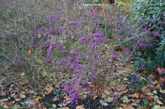 Callicarpa bodinieri var. giraldii (16/11/2013, Kew Gardens, London)
