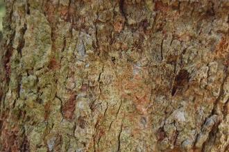 Azara microphylla Bark (02/02/2014, Kew Gardens, London)