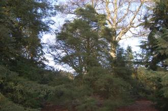 Cupressus macnabiana (02/02/2014, Kew Gardens, London)