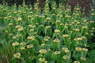 Phlomis russeliana (07/06/2014, Kew Gardens, London)