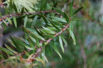 Callistemon viridiflorus Leaf (07/06/2014, Kew Gardens, London)