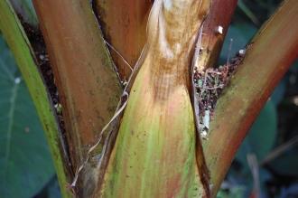 Ensete ventricosum 'Maurelii' Stem (17/08/2014, Kew Gardens, London)
